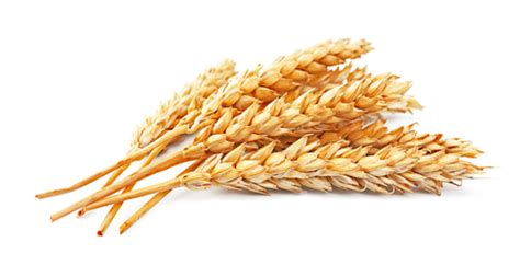SUMMARY OF PhD THESIS RESEARCH ON ORGANIC WINTER WHEAT AND