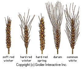 Thesis on durum wheat